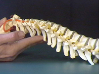 Cervical bony picture copy